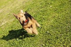 Airdale Terrier Hund, der mit Kauen-Spielzeug am Park läuft stockbild