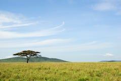 Ein Akazienbaum in einer Savanne Stockbild