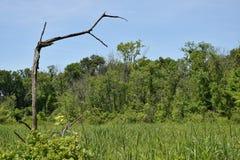 Ein alleiner gebrochener Baum überhängt einen Sumpf von grünen Schilfen unter einem blauen Himmel Stockfotos