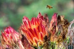 Ein alleines Honigbiene API millifera, das über einem Angelhaken schwebt Lizenzfreie Stockfotos