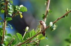 Ein Allens-Kolibri in einem Hibiscusbusch Stockbilder