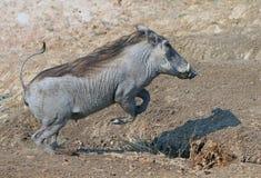 Ein allgemeines Warzenschwein, das über einen Abzugsgraben in Süd-Luangwa springt Lizenzfreies Stockfoto