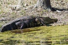 Ein Alligator, der im Sun sich aalt Lizenzfreie Stockfotografie