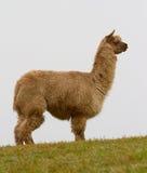 Ein Alpaka auf dem Hügel Stockbilder