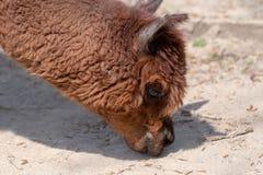 Ein Alpaka lässt aus den staubigen Grund an einem sonnigen Tag weiden lizenzfreie stockbilder