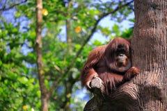 Ein alter Affe, der an einem Baum im botanischen Garten hängt Lizenzfreie Stockfotografie