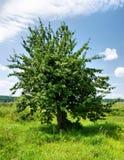 Ein alter Apfelbaum Lizenzfreie Stockfotos