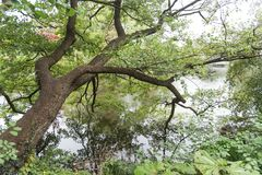 Ein alter Baum lehnte sich am Fluss und reflektierte sich in seinem Wasser stockfoto