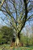 Ein alter Baum mit bloßen Niederlassungen Stockfotos