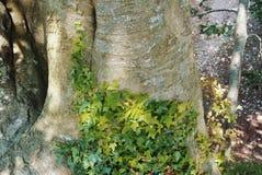 Ein alter Baumstamm, der mit hellem jungem grünem Efeu bedeckt wird, verlässt herein Lizenzfreie Stockfotos