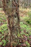 Ein alter Baumstamm in einem Park mit Moos und Sprösslingen Stockbilder