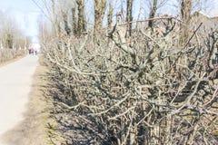 Ein alter befestigter Weißdorn im Frühjahr Vorfrühling, Weißdorn-BU Stockbild