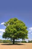 Ein alter Eichenbaum Lizenzfreie Stockfotografie