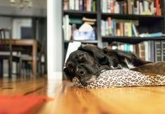 Ein alter Hund steht müde auf einem Kissen still stockfotos