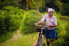 Ein alter Mann, der geerntete Reispflanze in Kerala transportiert lizenzfreie stockbilder