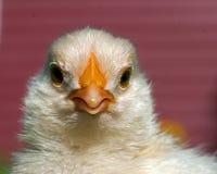 Ein alter Mann der Woche Hühner, von der Hedemora-Zucht in Schweden Lizenzfreie Stockfotografie