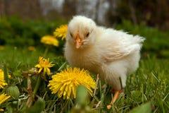 Ein alter Mann der Woche Hühner, von der Hedemora-Zucht in Schweden Stockfotos
