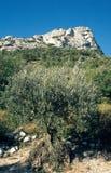 Ein alter Olivenbaum im DrÃ'me Provençale, Frankreich stockbilder