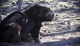 Ein alter schwarzer Bär, der gegen einen Baum sitzt Stockbilder