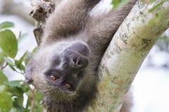 Ein alter und müder Pavian, der in der Gabel eines Baums stillsteht Stockbilder