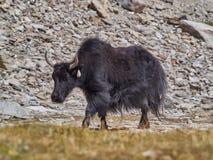 Ein alter Yak mit langer schwarzer Wolle und großen Hörnern geht entlang eine Sommerweide Lizenzfreie Stockfotos