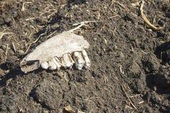Ein alter Zahn gefunden während der Aushöhlungen mit einem Metalldetektor lizenzfreies stockbild