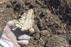 Ein alter Zahn gefunden während der Aushöhlungen mit einem Metalldetektor lizenzfreie stockfotografie