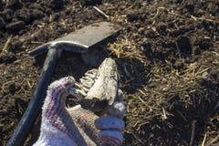 Ein alter Zahn gefunden während der Aushöhlungen mit einem Metalldetektor lizenzfreie stockfotos