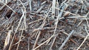 Ein Ameisenhügel im Kiefernholz Stockbild