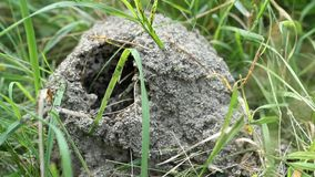 Ein Ameisenhügel im Kiefernholz stock video