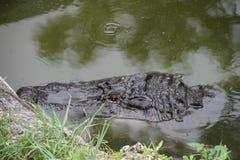 Ein amerikanischer Alligator lizenzfreies stockfoto