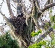 Ein amerikanischer kahler junger Adler, der aus seinem Nest heraus späht Lizenzfreie Stockbilder