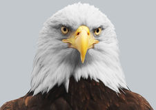 Ein amerikanischer Weißkopfseeadler Lizenzfreies Stockbild