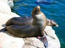Ein anderer Winkel der Seelöwen durch das Pool Aquarium des Pazifiks, Long Beach, Kalifornien, USA stockbild