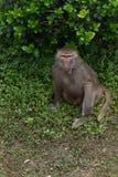 Ein Anstarren von Anstarrenpapio hamadryas Stockbild