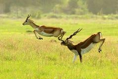 Ein Antilopenunfall lizenzfreie stockfotografie
