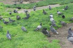 Ein Antrieb von Tauben aus den Grund lizenzfreies stockbild
