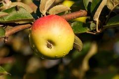 Ein Apfel auf dem Zweig eines Apfelbaums Lizenzfreie Stockbilder