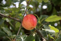 Ein Apfel auf einem Baum nave lizenzfreies stockfoto