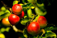 Ein Apfel ein Tag hält den Doktor weg. Stockfotos