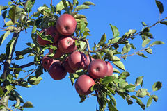 Ein Apfelbaum stockbilder