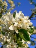 Ein Apfelbaum blüht. Lizenzfreies Stockfoto