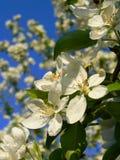 Ein Apfelbaum blüht. Stockbild