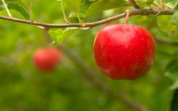Ein Apfelgarten erbringt frische Frucht Washington State lizenzfreies stockfoto