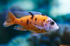 Ein Aquariumfisch Lizenzfreie Stockfotos