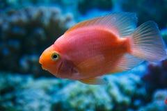 Ein Aquariumfisch-Rotpapagei Stockfotografie
