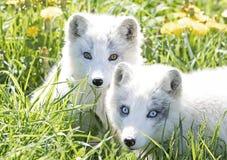 Ein arktischer Fuchs und Ausrüstung Vulpes Lagopus im Gras an einem Frühlingstag in Kanada Lizenzfreie Stockfotografie