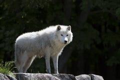 Ein Arktiswolf Canis Lupus arctos, die im Frühjahr auf den Felsen in Kanada stehen Stockbilder