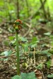 Ein Aronstab maculatum (snakeshead) Betriebslager trägt Früchte Stockfotografie