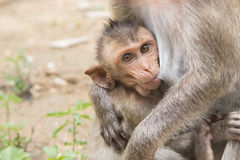 Ein asiatischer Affe des Babys mit ihrer Mutter Stockbild